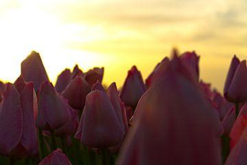 Tulpen von Ronald Bruijniks