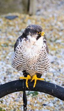 kleine roofvogel/ little hunting bird / petit oiseau de chasse von melissa demeunier