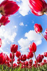 Tulipes Néerlandaises