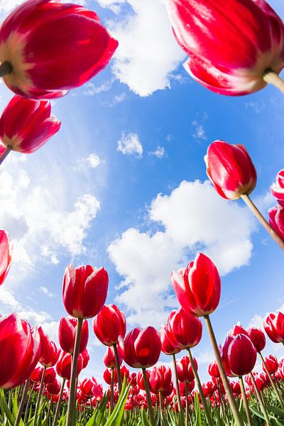 Hollandse Tulpen van Frenk Volt