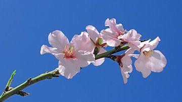 Mandelblütenzweig - prunus dulcis von