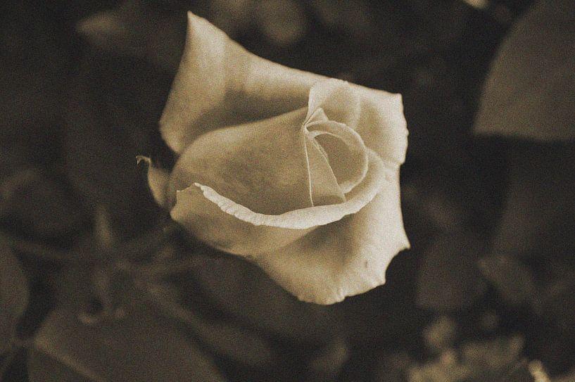 Roos in sepia van Gerard de Zwaan