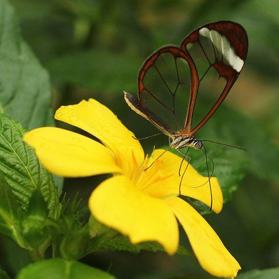 The Transparent Butterfly van Cornelis (Cees) Cornelissen