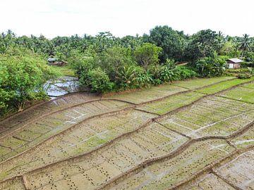 Rijstvelden in Sri Lanka VI van Nicole Nagtegaal