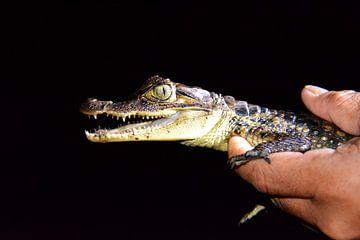 Junges Krokodil bei Nachttournee Nicaragua von My Footprints