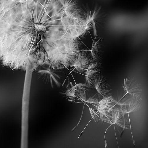 Pusteblume fliegende Schirmchen schwarzweiß