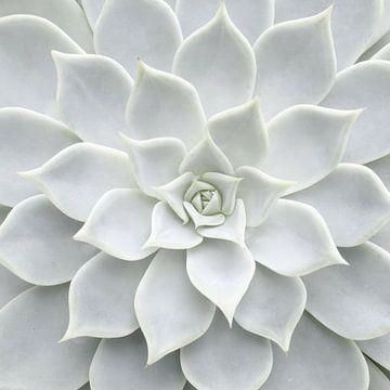Weiße Sukkulente von David Potter