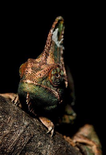 """Chameleon """" Grumpy """" von Rob Smit"""