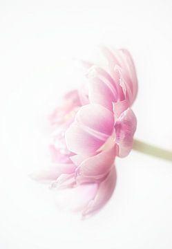Tulpe rosa von natascha verbij