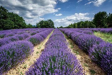 Lavendel Valensole Frankrijk van Mario Brussé