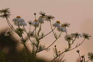Kamille in het avondrood Friesland mooi stilleven van Fotografie Sybrandy
