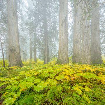 Cedar-Hemlock regenwoud in de herfst van