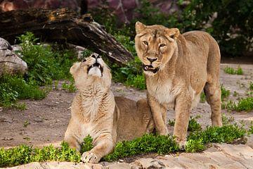 Dromerige en mooie vrouwenleeuwen communiceren. Twee leeuwenvriendinnen zijn grote mooie katten op e van Michael Semenov