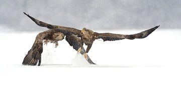Seeadler, die in den Schnee fliegen von Harry Eggens