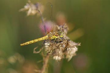 Gele heide libelle van