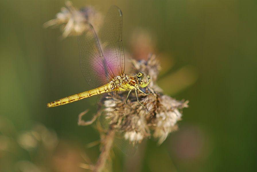 Gele heide libelle van Gabsor Fotografie
