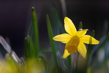 Narcis bloemen brengen de vroege lente en het voorjaar. van Kim Willems