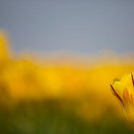 Tulp van Ben Deiman