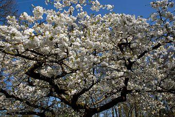 weiße Blüte mit blauem Himmel von Carmela Cellamare