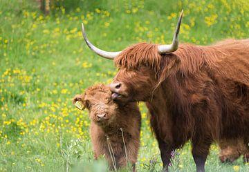 Schotse hooglander met jong sur Wim van der Wind