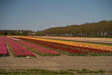 tulpen in den niederlanden von Kim Groenendal