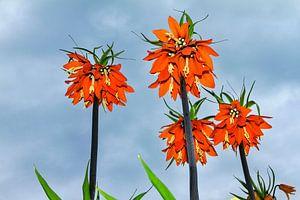 Oranje Keizerskroon