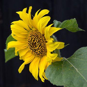 Hoppers Sonnenblume von Henriëtte Mosselman