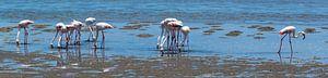 Panoramafoto van naar voedsel zoekende flamingo's