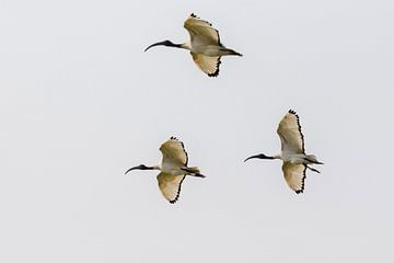 Fliegender Heiliger Ibis von Cor de Bruijn