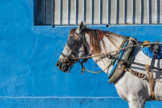 Paard in Trinidad