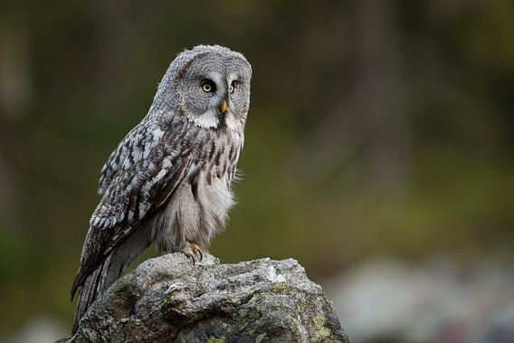Great Grey Owl ( Strix nebulosa ) hunting