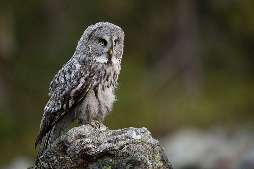 Great Grey Owl ( Strix nebulosa ) hunting van wunderbare Erde