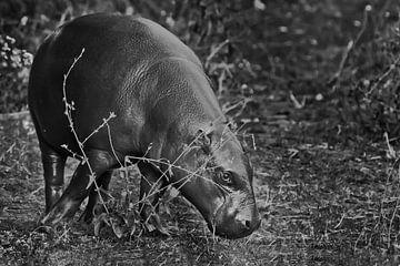 Das Zwergflusspferd ist ein niedliches kleines Nilpferd. Verfärbt, schwarz und weiß von Michael Semenov
