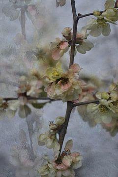 Frühling - Quittenblüte von Christine Nöhmeier