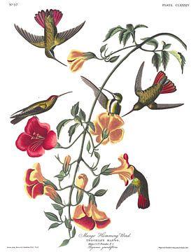 Mango Kolibries van