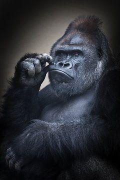 Ein kräftiger männlicher Gorilla hält sich die Hand vor den Mund, als würde er nachdenken, kräftige