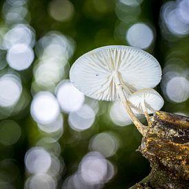 Zwevende porseleinzwam in het Bos van Fotografiecor .nl
