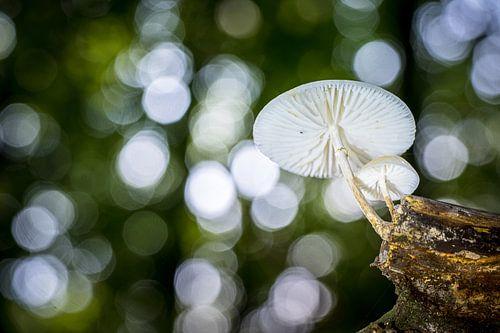 Zwevende porseleinzwam in het Bos