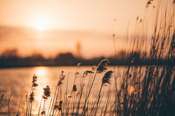 Schilffedern in der untergehenden Sonne von Willem Verstraten