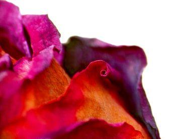 Ancient Beauty... (Een Rode Rijpe Roos) van Caroline Lichthart