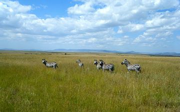Zebra's op de Afrikaanse savanna Masai Mara - Kenia van Gerrit  De Vries