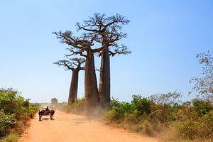 Baobab zeboekar