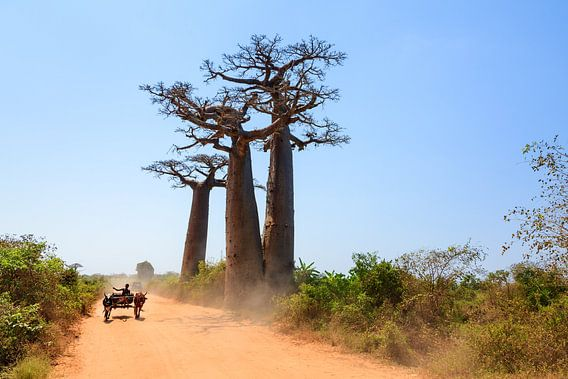 Baobab zeboekar van Dennis van de Water