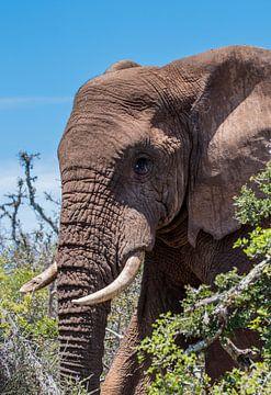 Grote Afrikaanse Olifant van Jack Koning