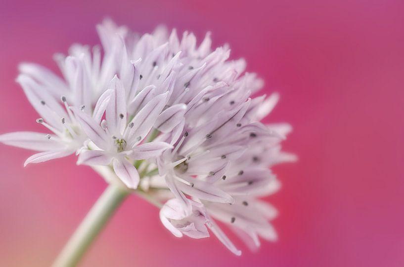 Schnittlauchblüte  van Violetta Honkisz
