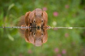 Trinkendes Eichhörnchen