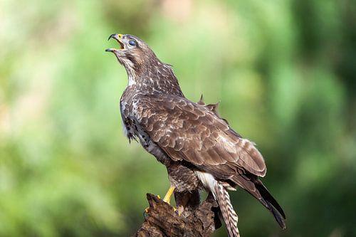 Buizerd roofvogel in het bijzonder