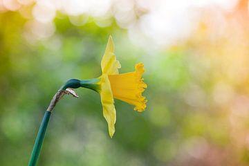 Narcissus von Tamara Witjes