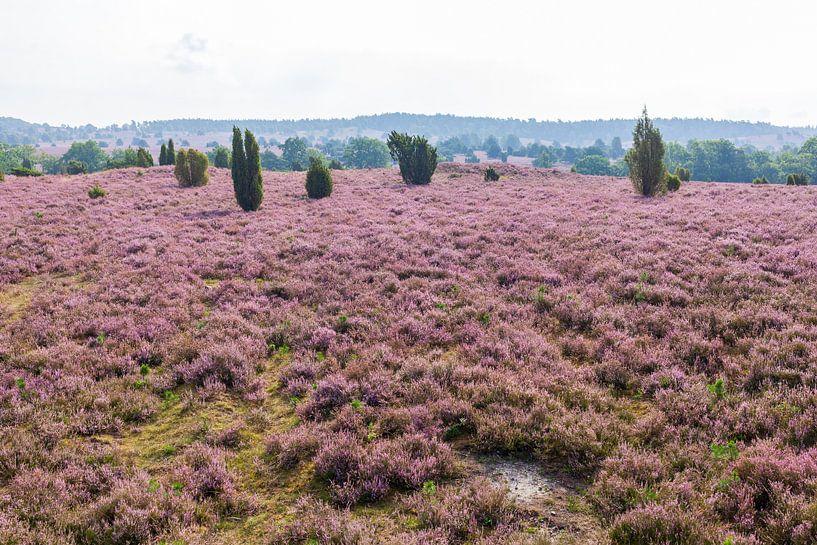 Heidelandschaft, Heiedeblüte, Niederhaverbeck, Lüneburger Heide, Deutschland von Torsten Krüger