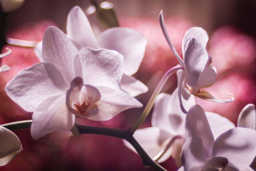 Wit roze orchideën tegen een roze achtergrond van Mike Attinger